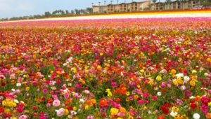 Flower Fields Wallpapers And Backgrounds