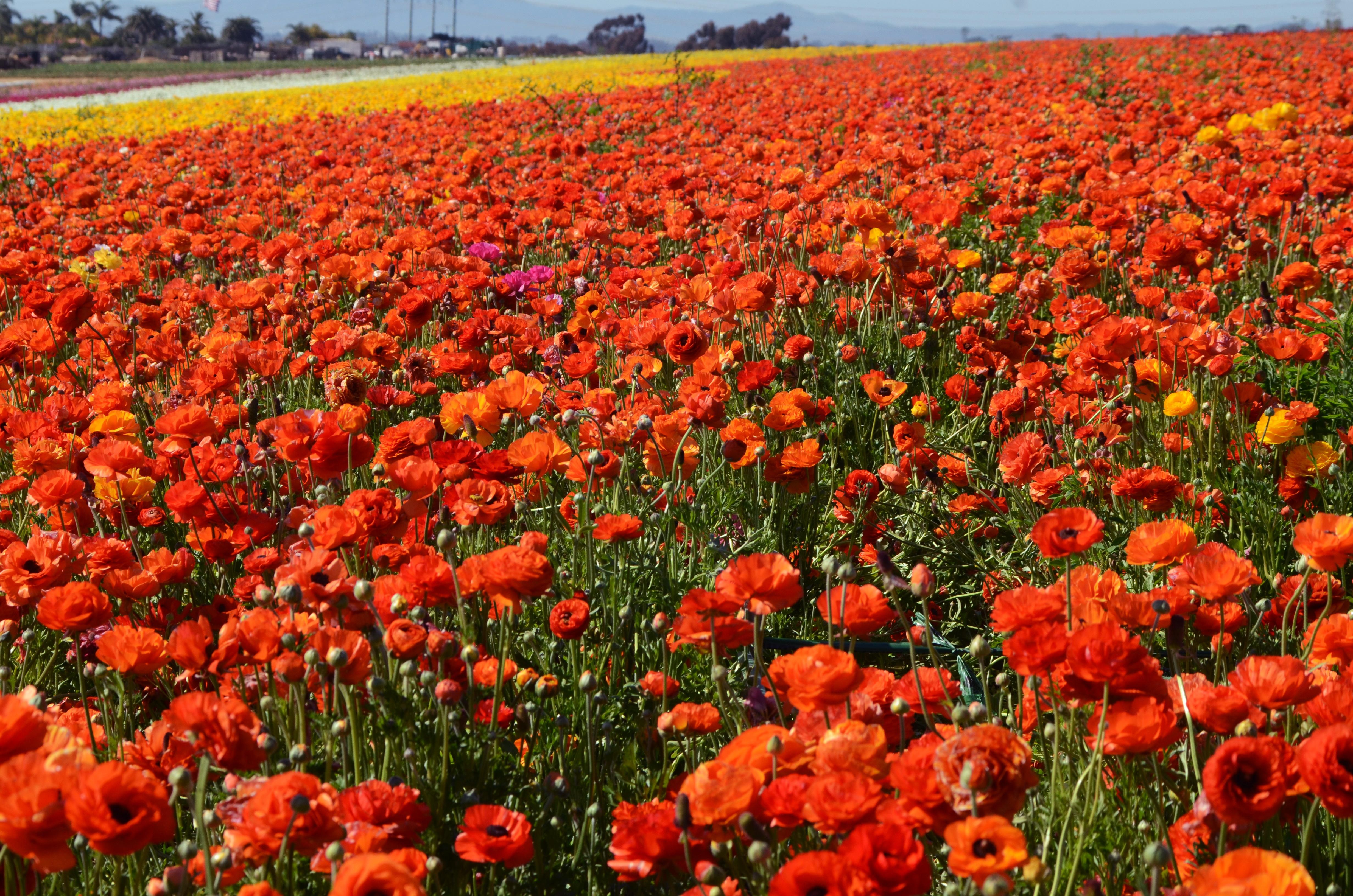 Flower Fields Widescreen