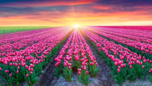 Flower Fields For Desktop Background