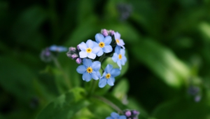 Forget Me Not Flower 4k