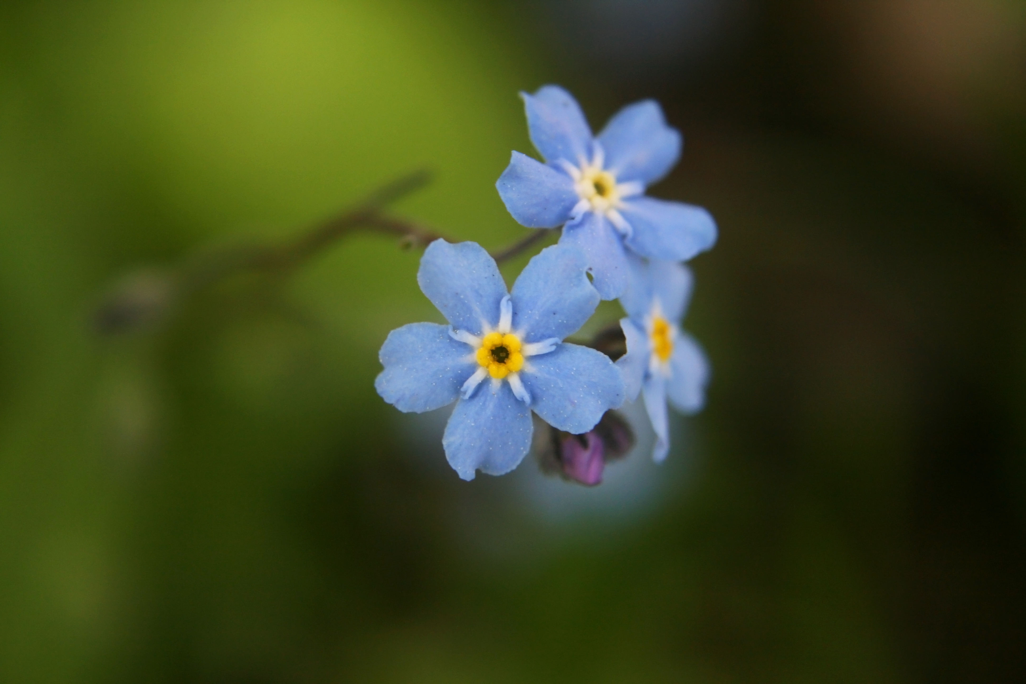 Forget Me Not Flower Desktop