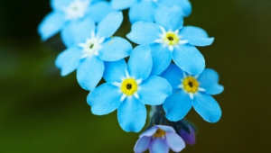 Forget Me Not Flower Hd