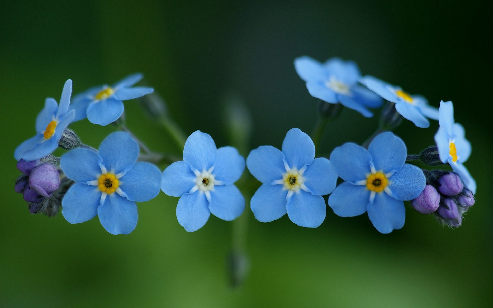 Forget Me Not Flower Hd Desktop