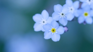Forget Me Not Flower Hd Wallpaper