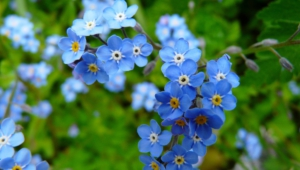Forget Me Not Flower High Definition Wallpapers
