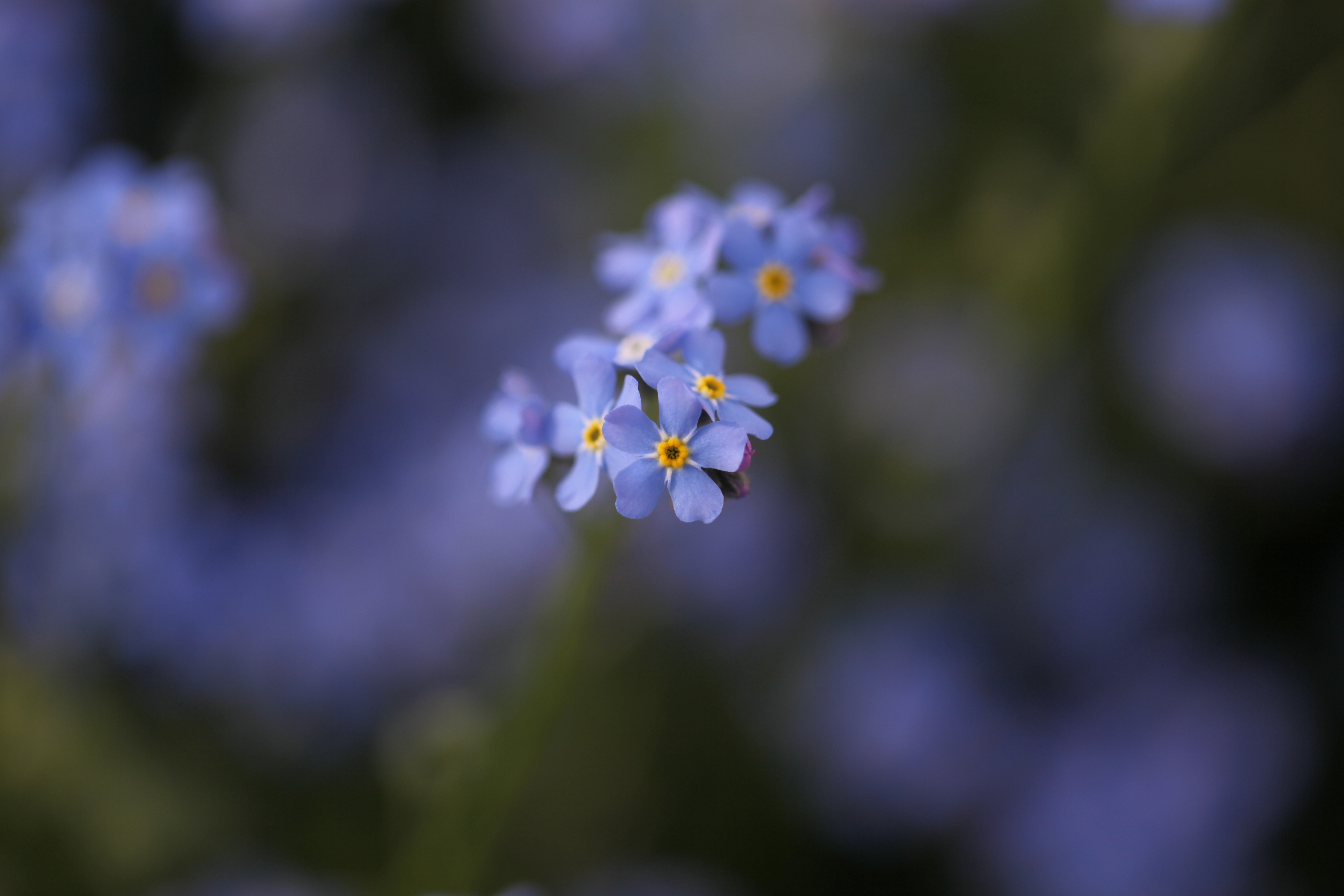 Forget Me Not Flower High Definition
