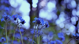 Forget Me Not Flower Images