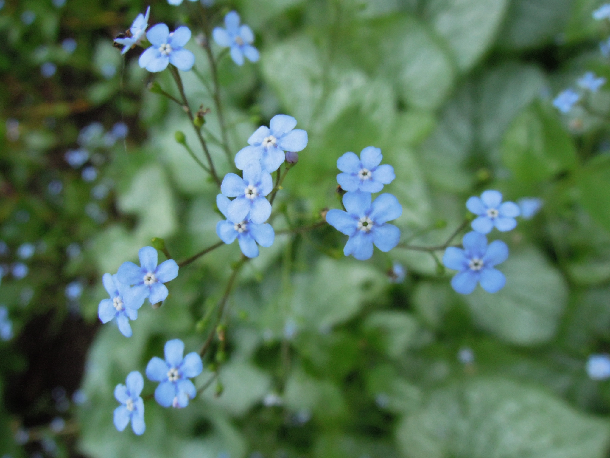 Forget Me Not Flower Pictures