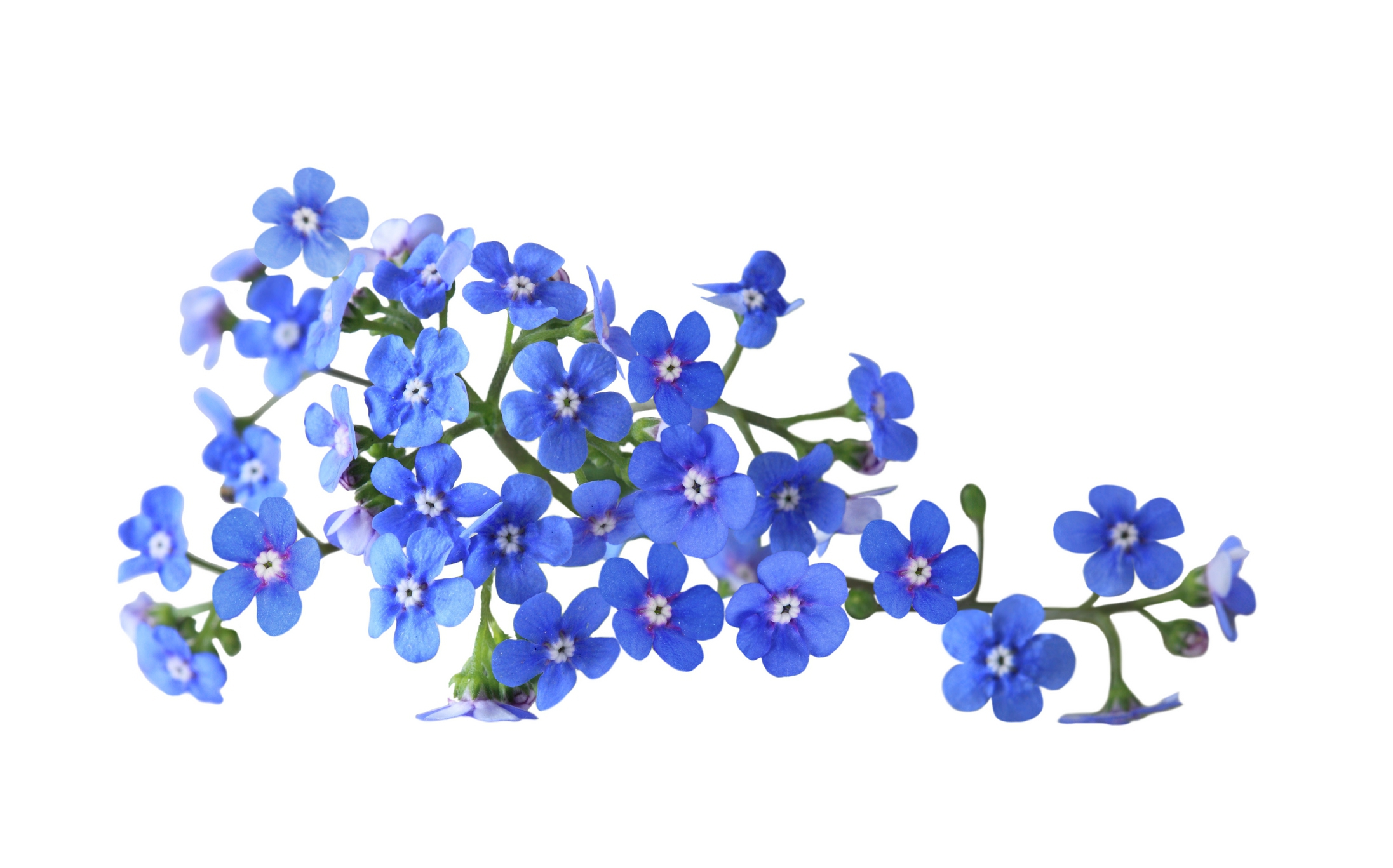 Forget Me Not Flower Wallpaper For Computer