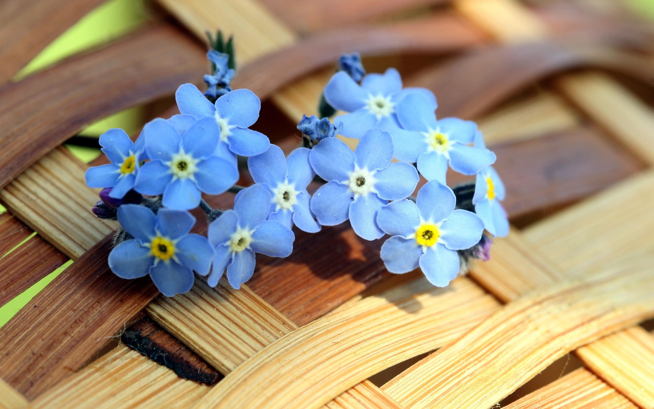 Forget Me Not Flower Wallpaper For Laptop