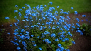 Forget Me Not Flower Wallpapers