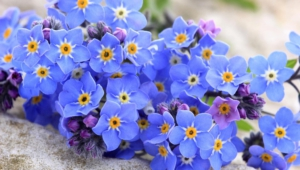 Forget Me Not Flower Widescreen