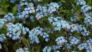 Forget Me Not Flower For Desktop