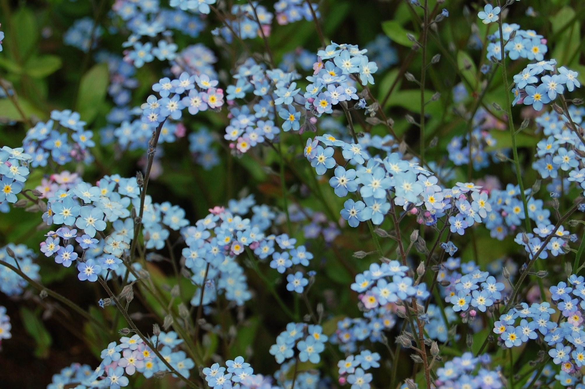 Forget Me Not Flower For Desktop