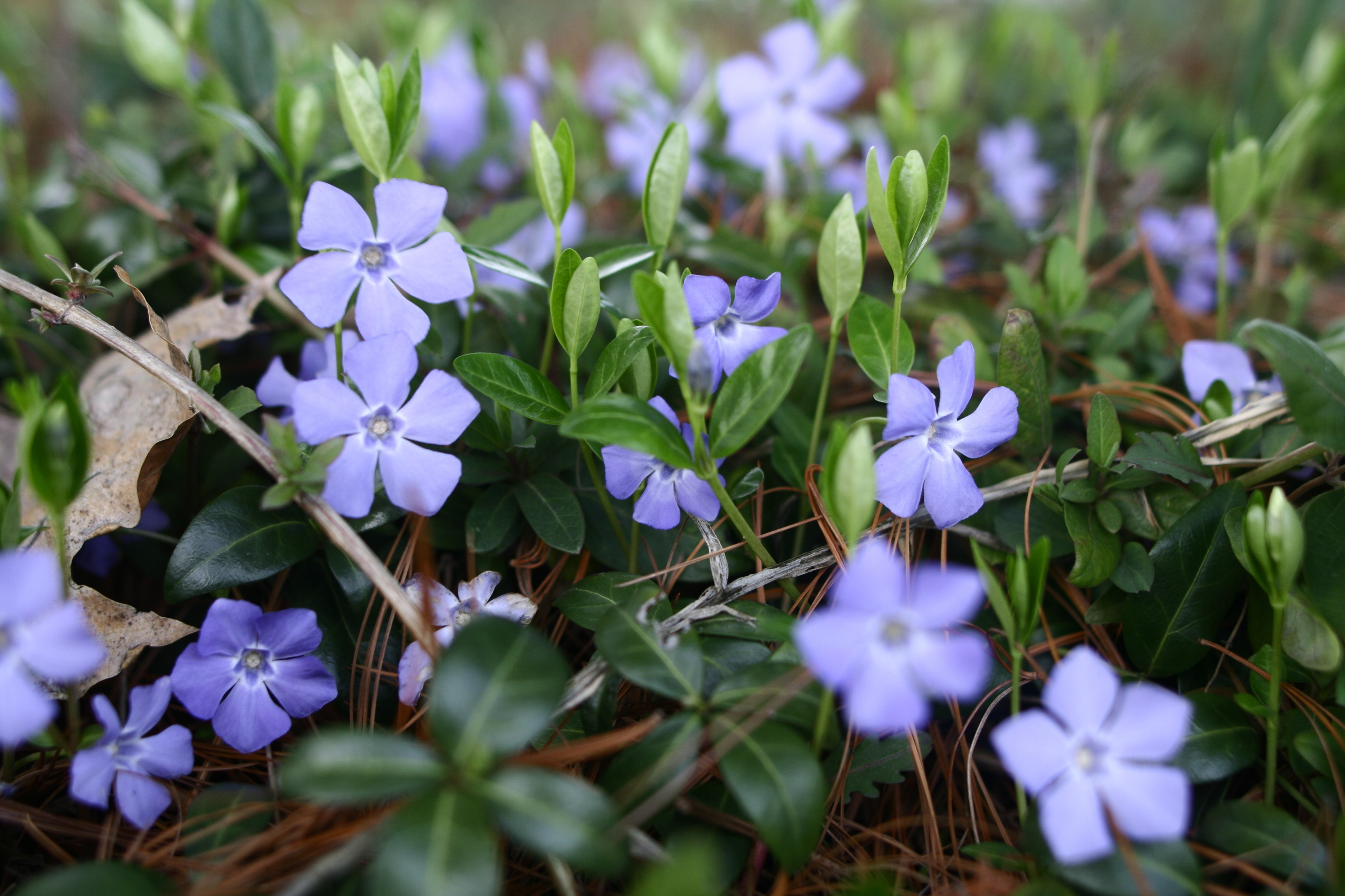 Forget Me Not Flower Full Hd