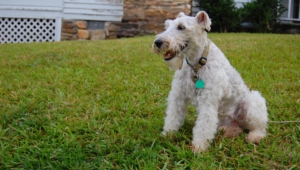 Fox Terrier Hd Wallpaper