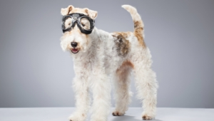 Fox Terrier High Definition Wallpapers