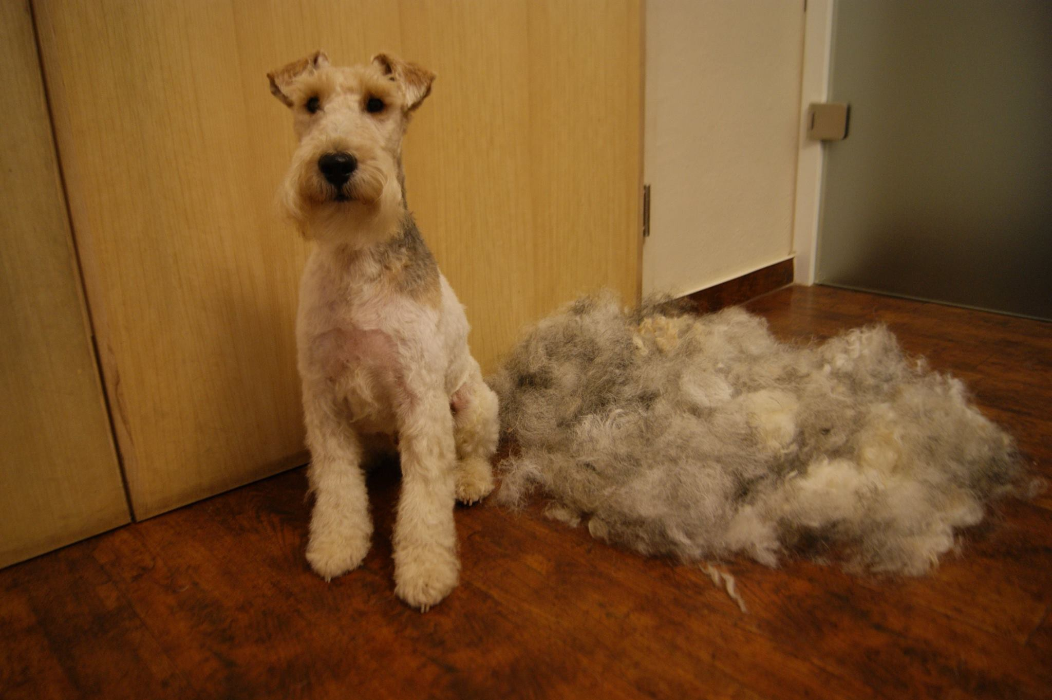 Fox Terrier High Quality Wallpapers