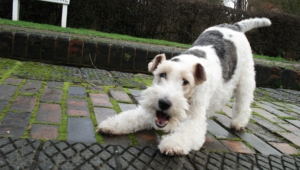 Fox Terrier Photos