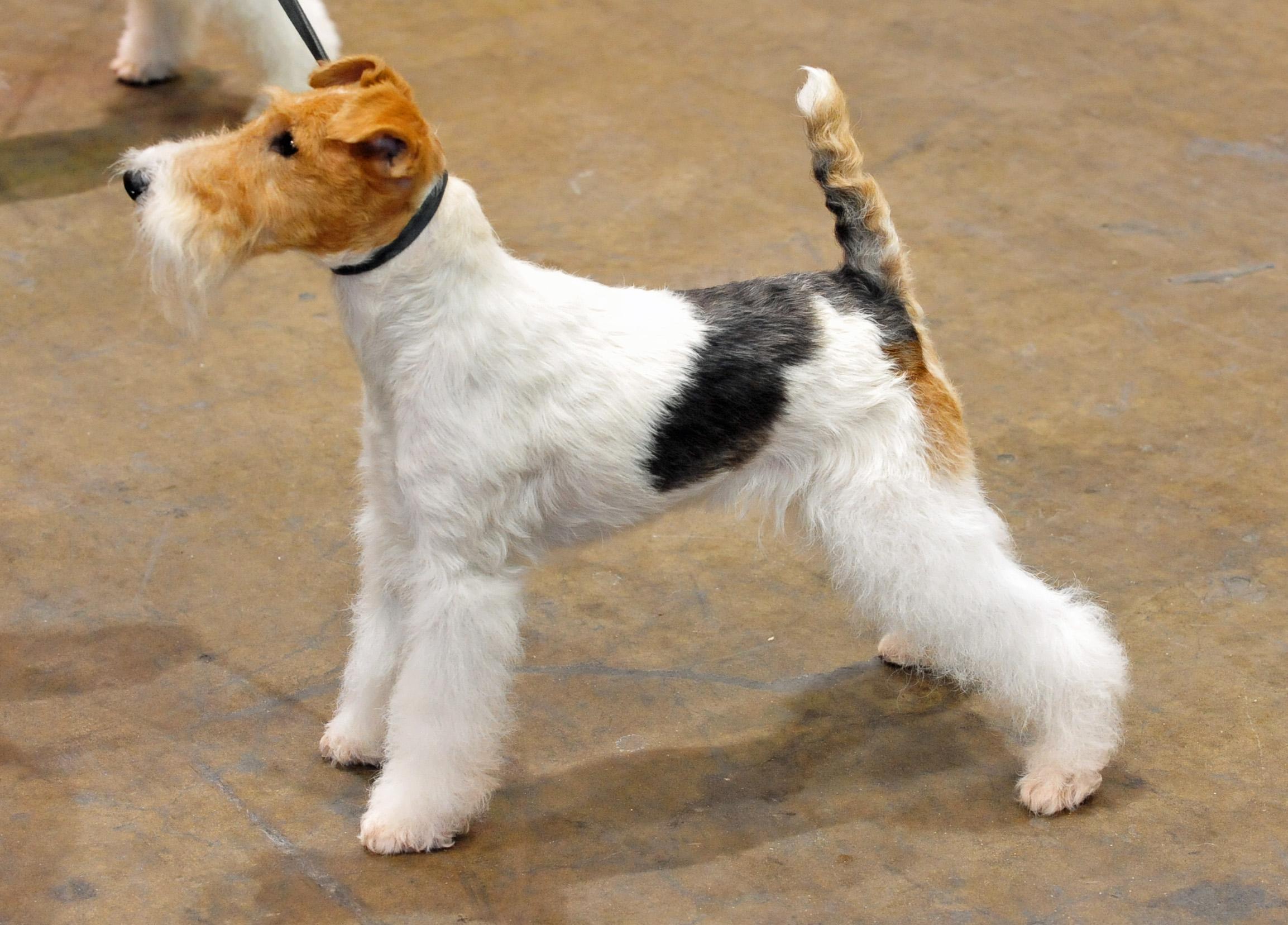 Fox Terrier Wallpapers