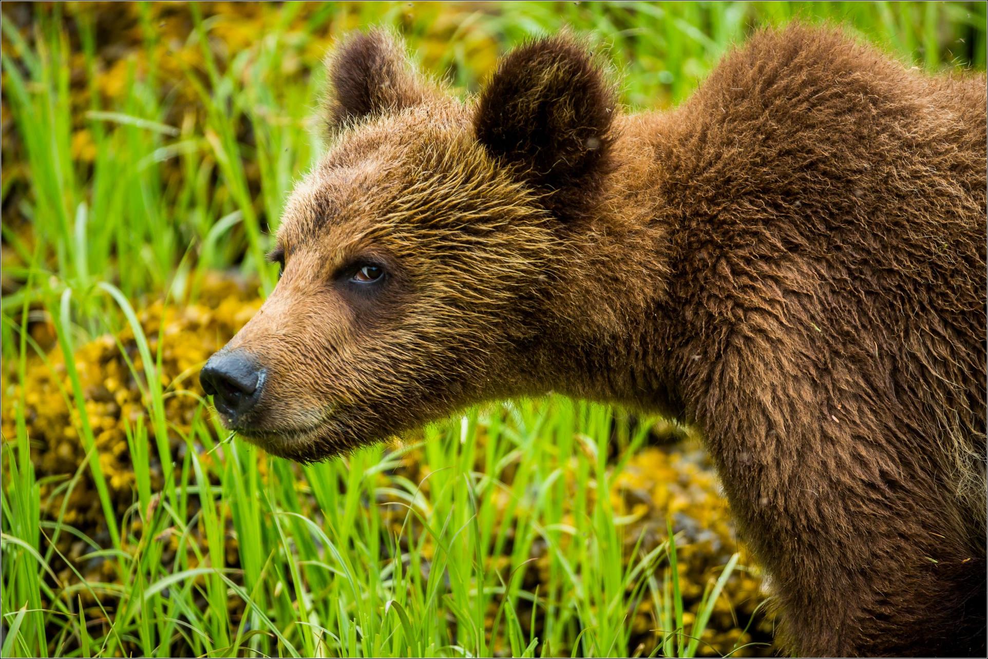 Grizzly Bear 4k