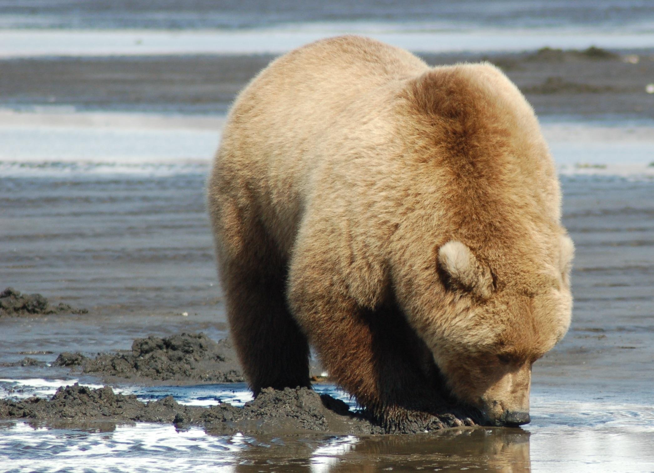 Grizzly Bear Desktop