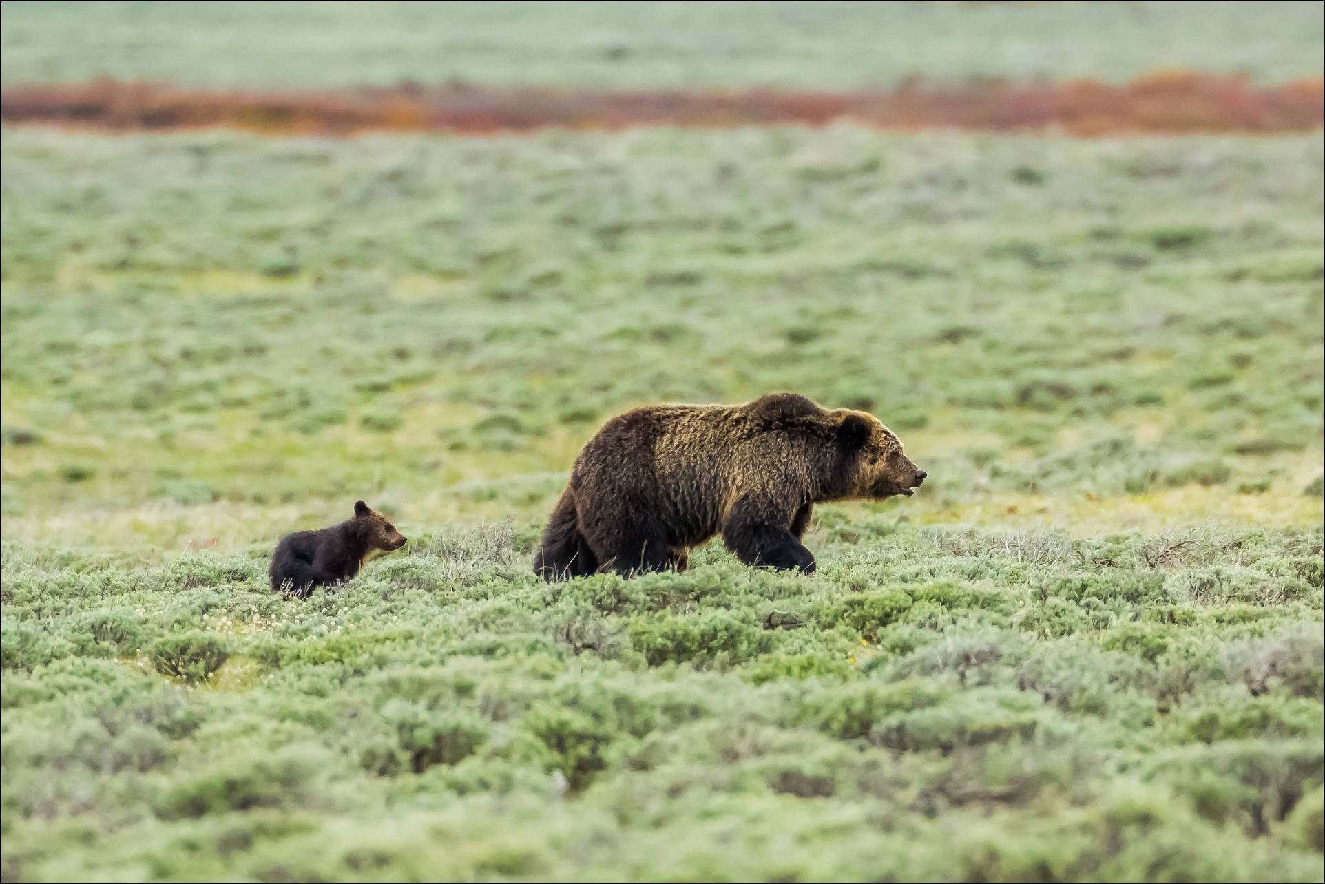 Grizzly Bear Download Free Backgrounds Hd