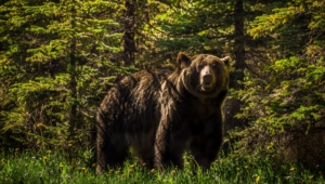 Grizzly Bear Hd Background