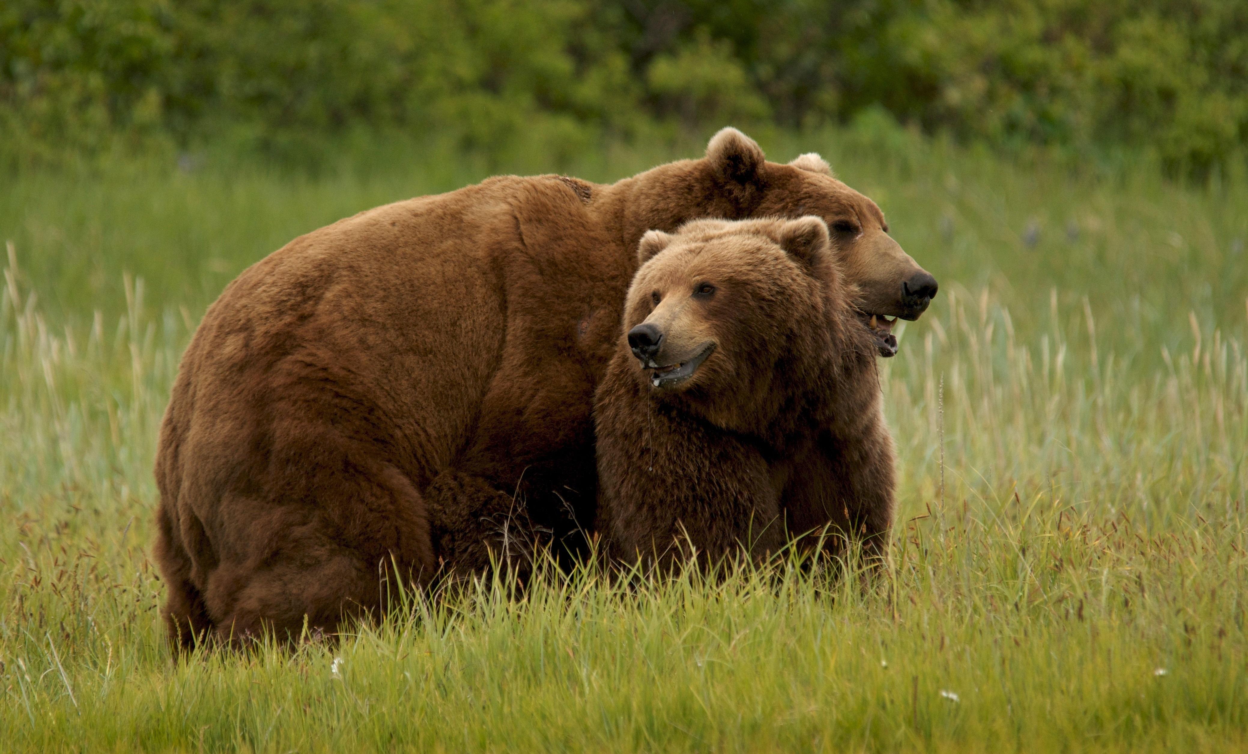 Grizzly Bear Hd Desktop