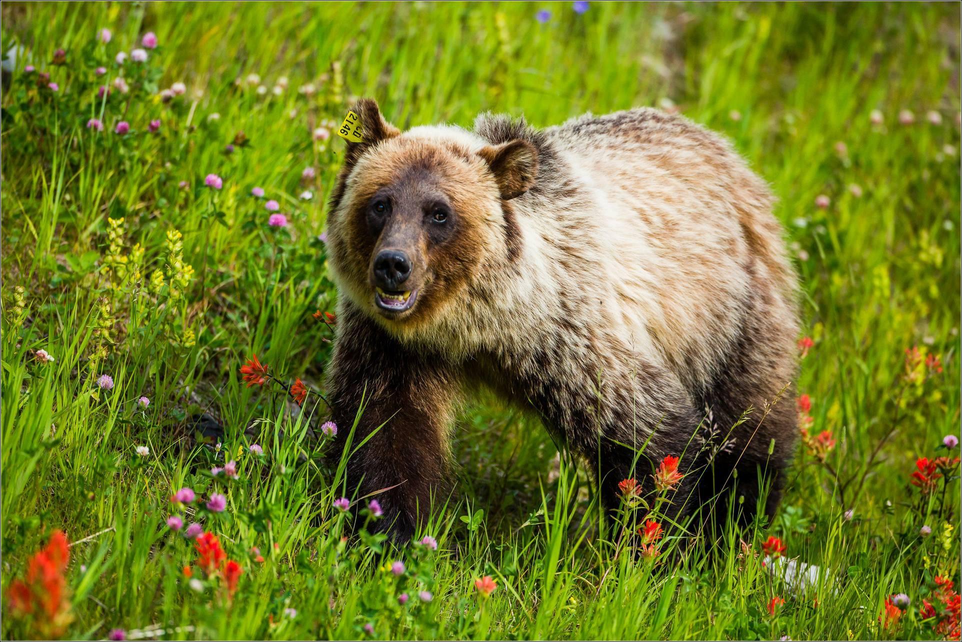 Grizzly Bear Hd Wallpaper