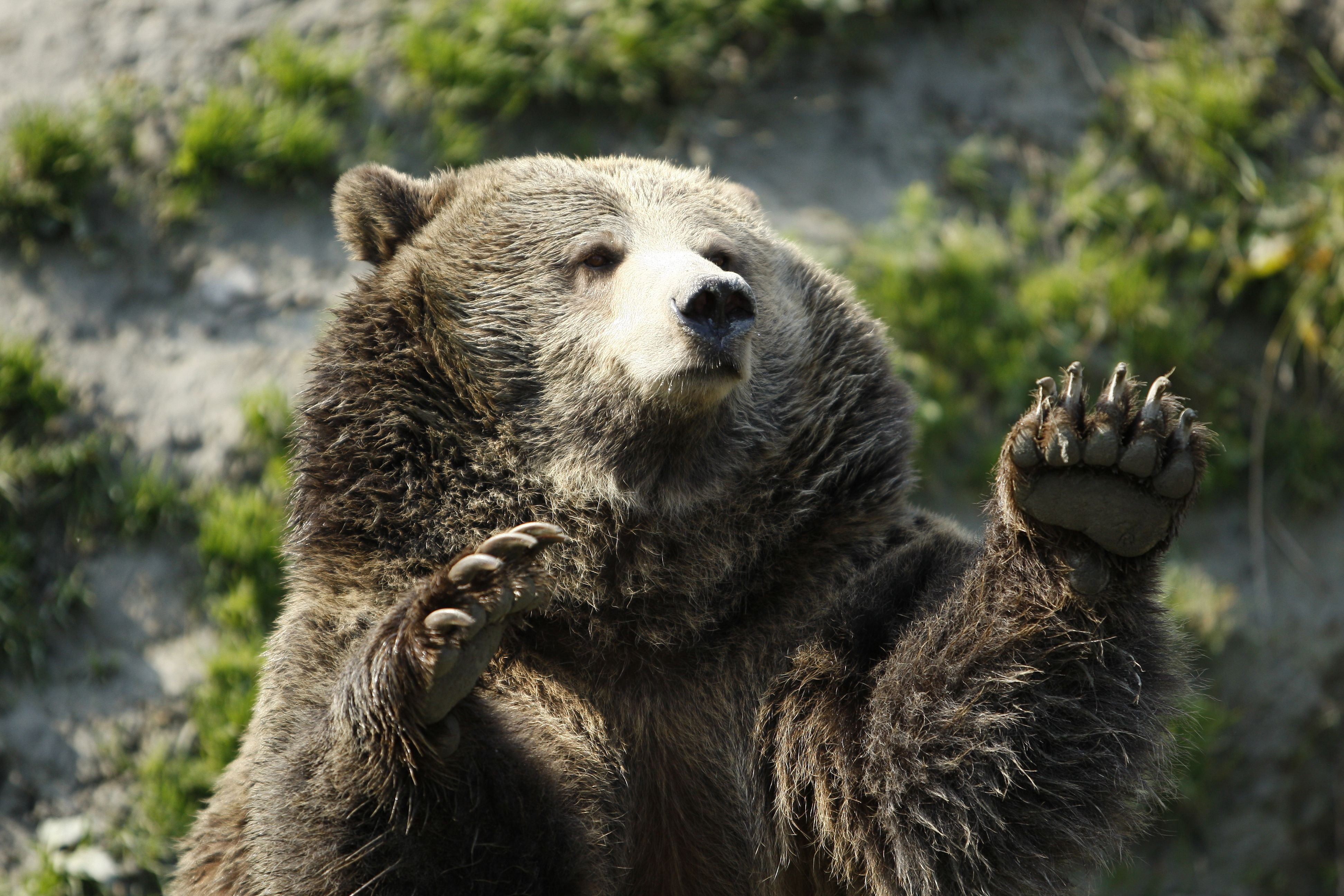 Grizzly Bear High Definition