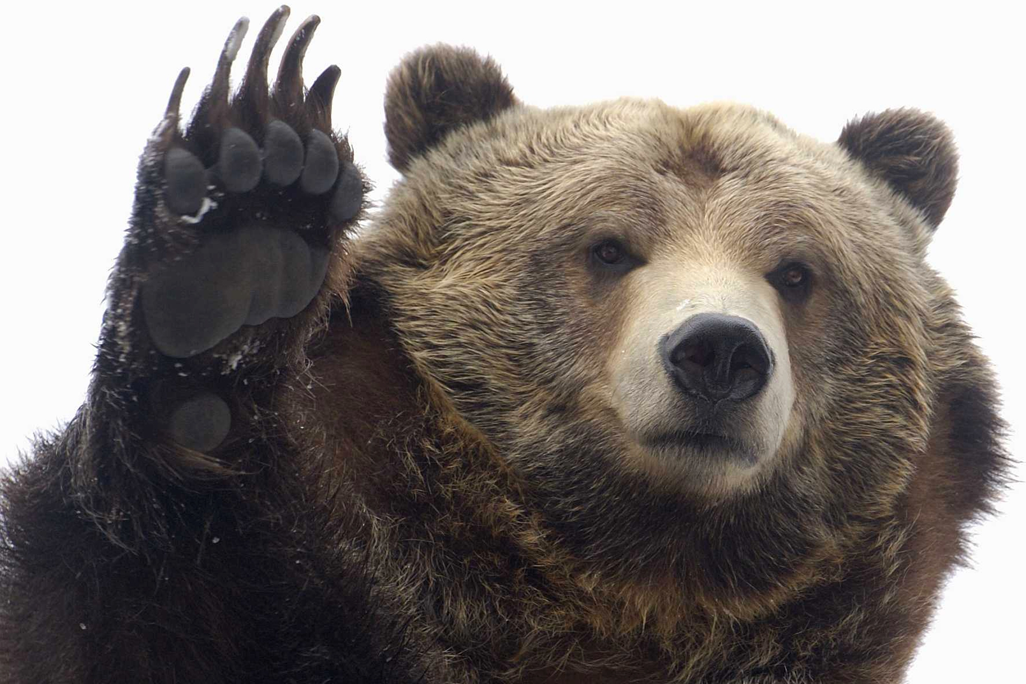 Grizzly Bear High Quality Wallpapers
