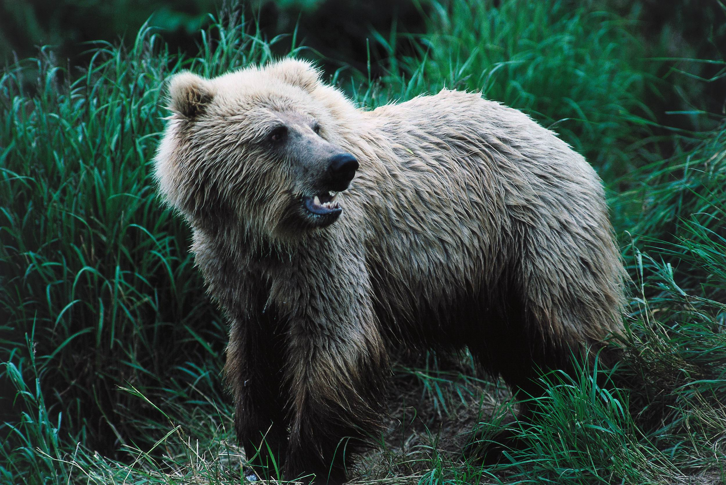 Grizzly Bear Wallpaper For Laptop
