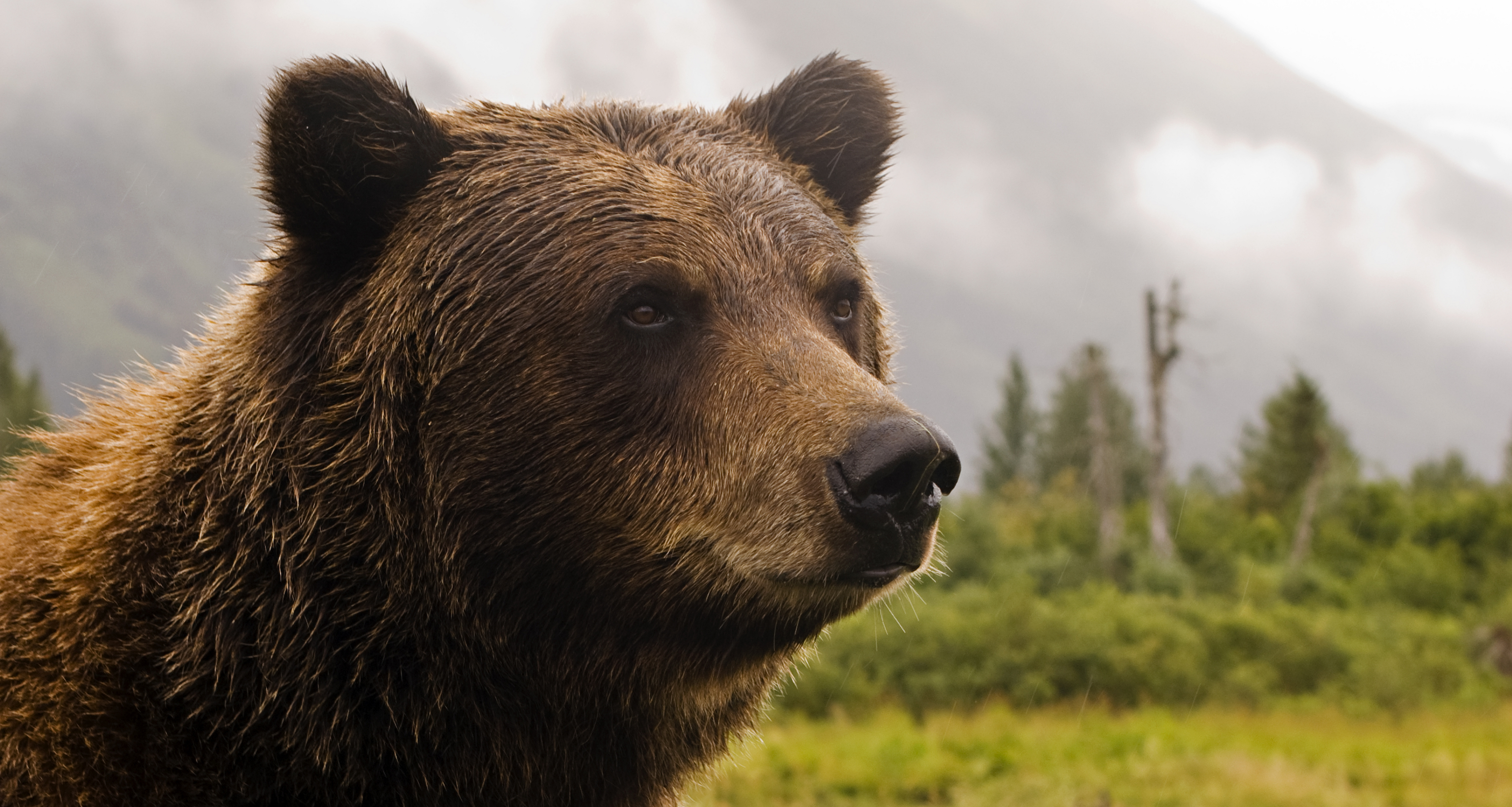 Grizzly Bear Wallpapers Hd