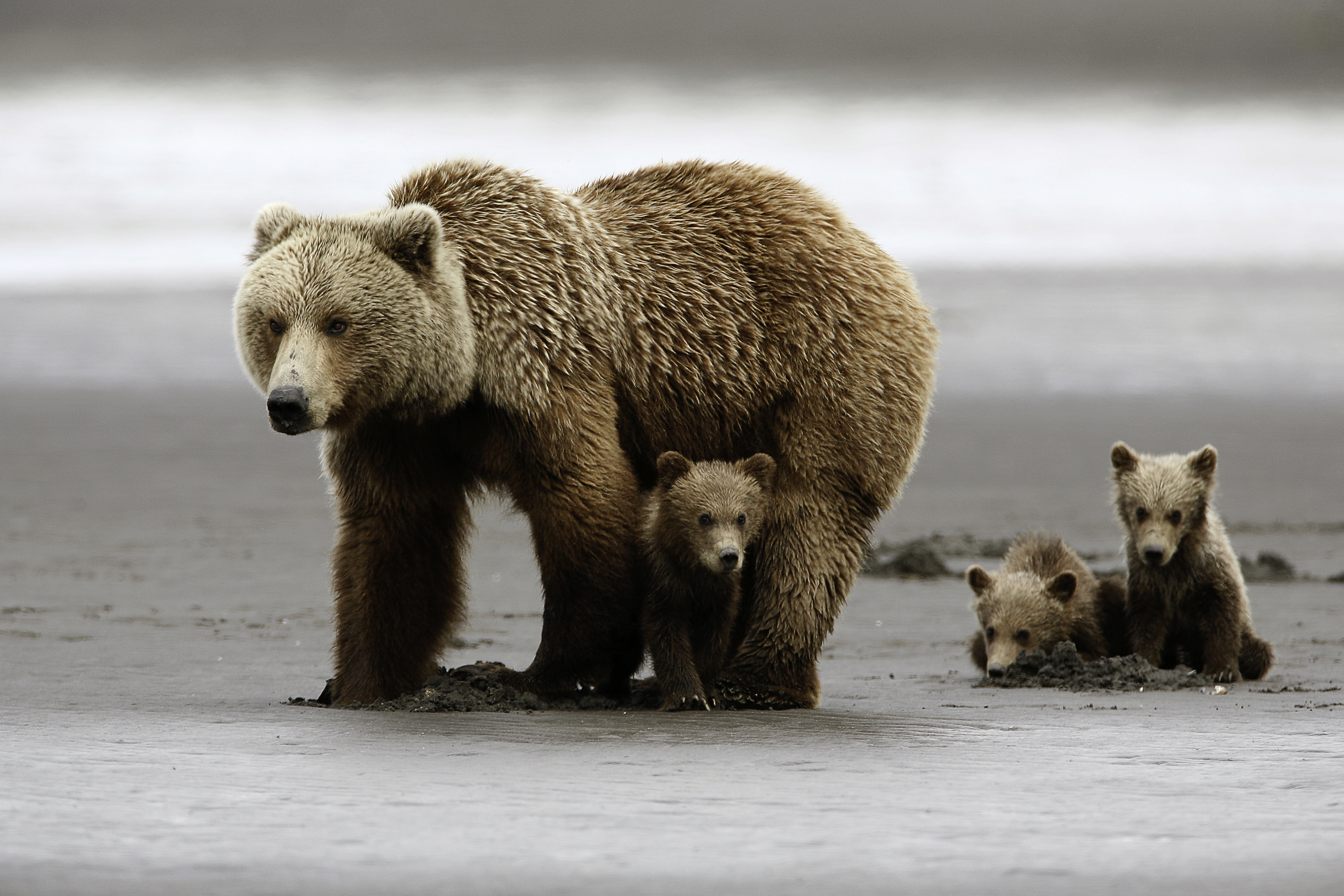 Grizzly Bear Wallpapers And Backgrounds