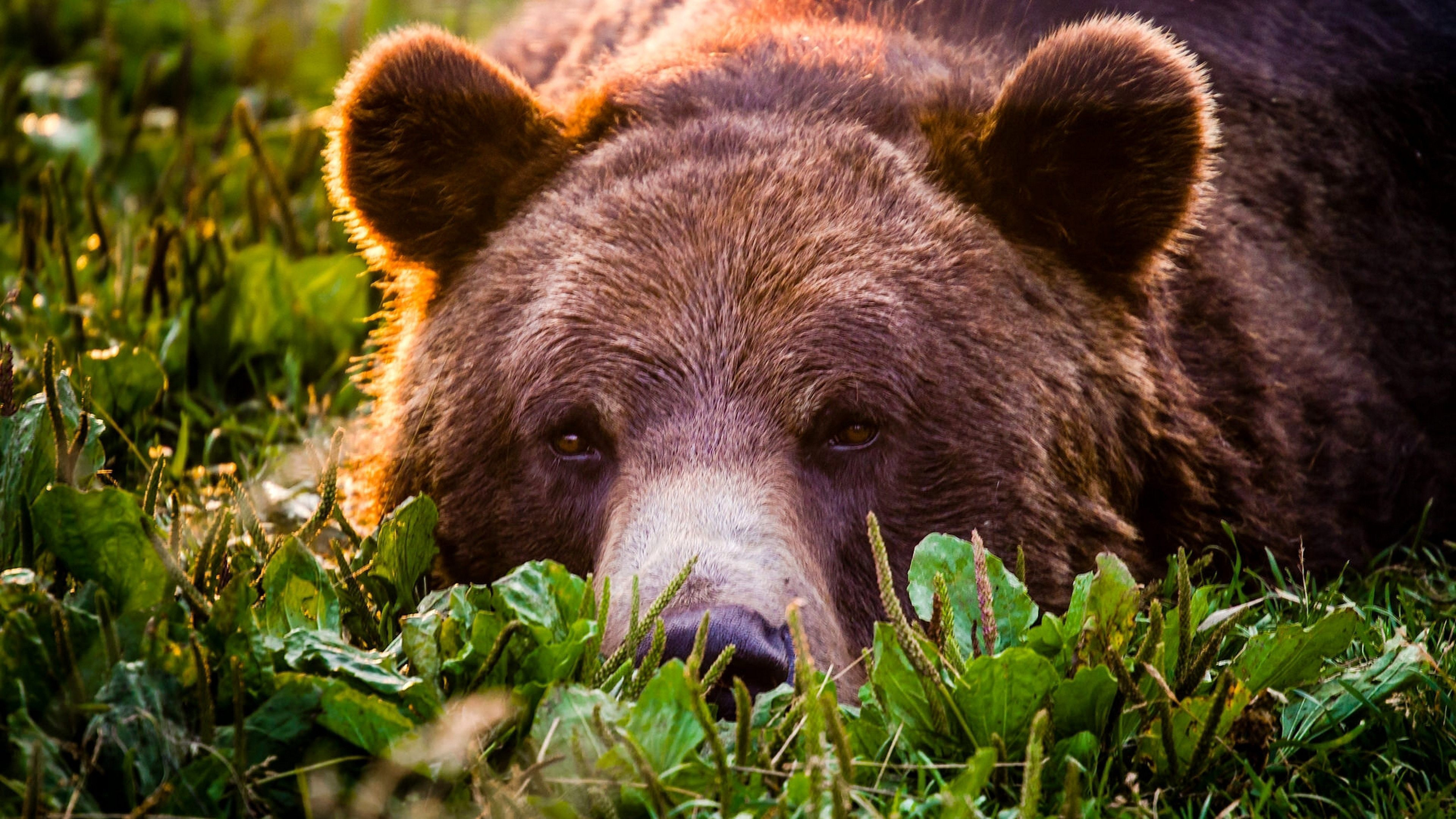 Grizzly Bear Widescreen