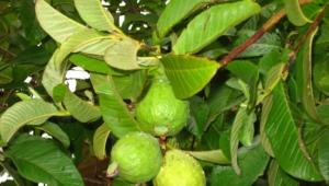 Guava Hd