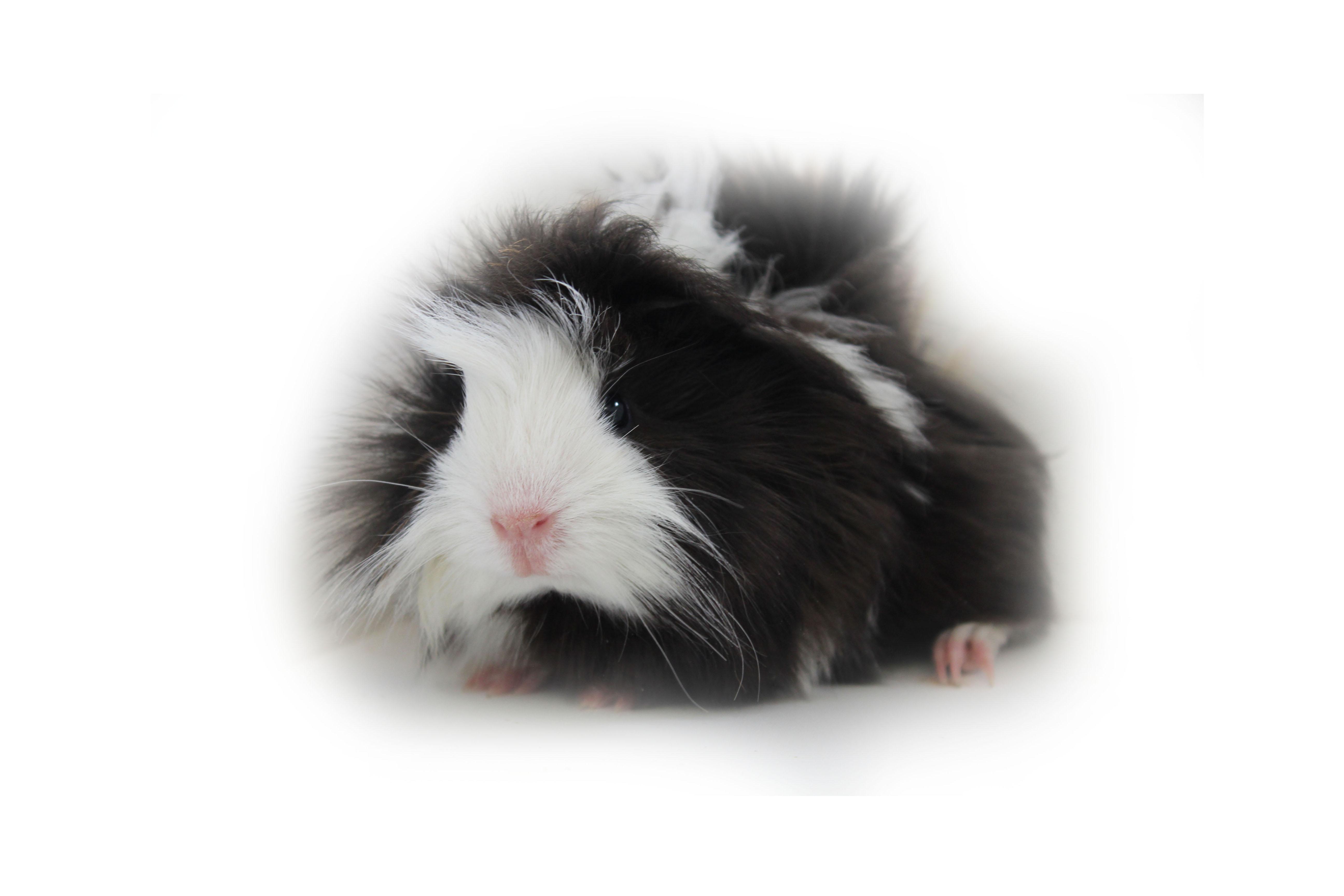 Guinea Pig 4k