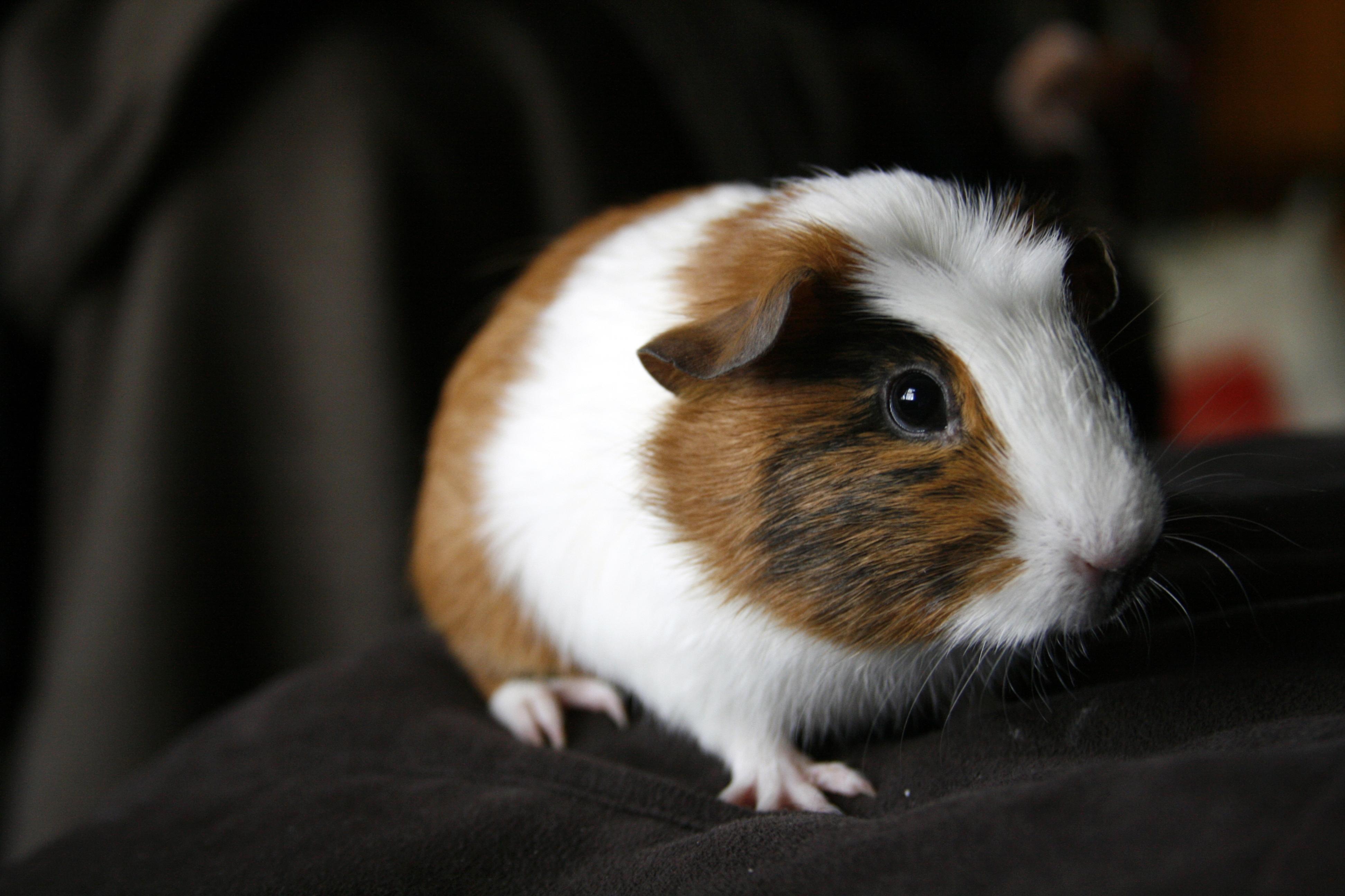 Guinea Pig Desktop Images