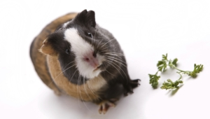 Guinea Pig Hd Background