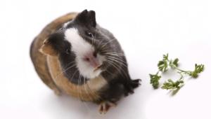 Guinea Pig Hd Background