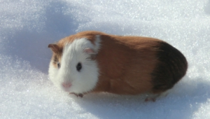 Guinea Pig Hd Wallpaper