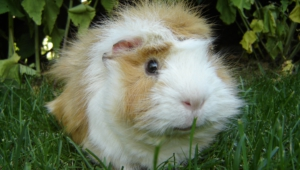 Guinea Pig High Definition