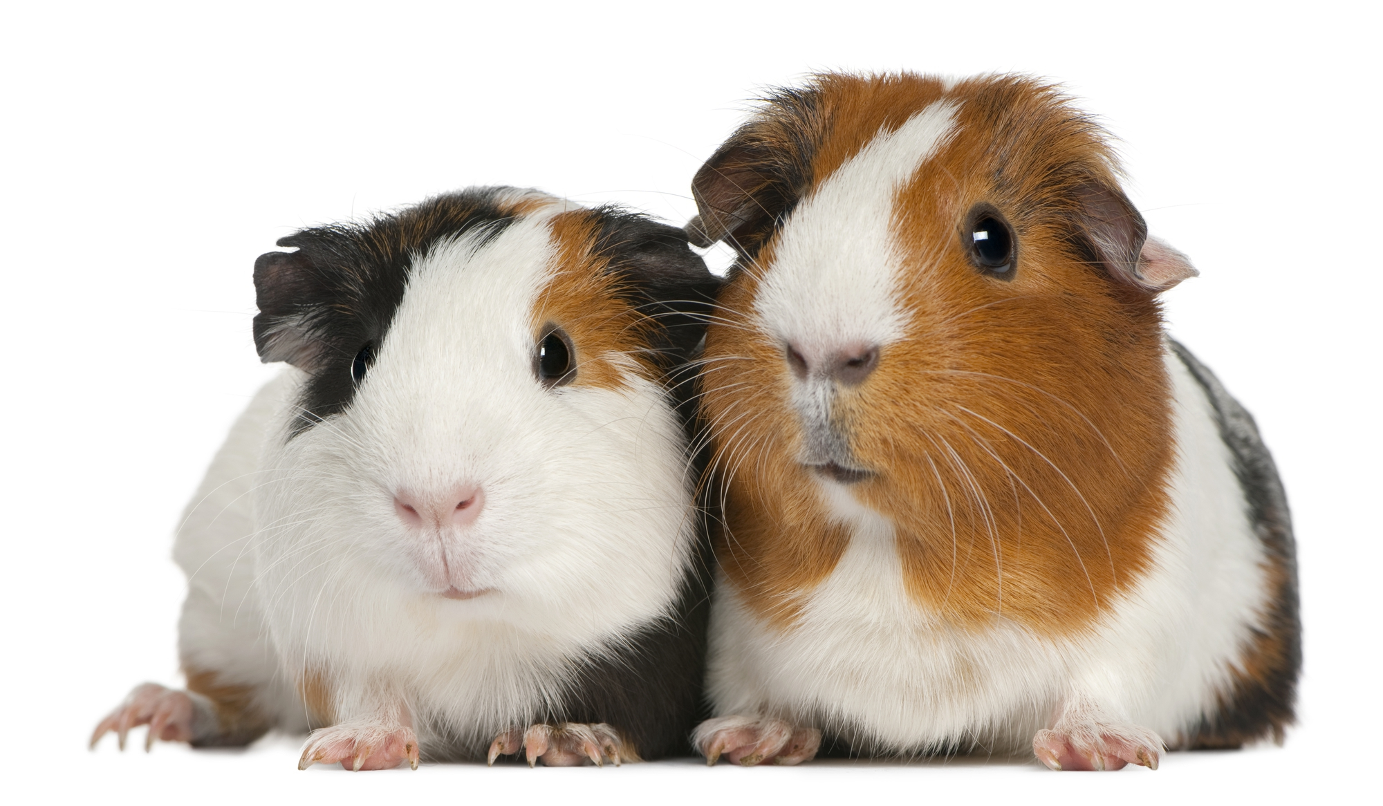 Guinea Pig High Definition Wallpapers