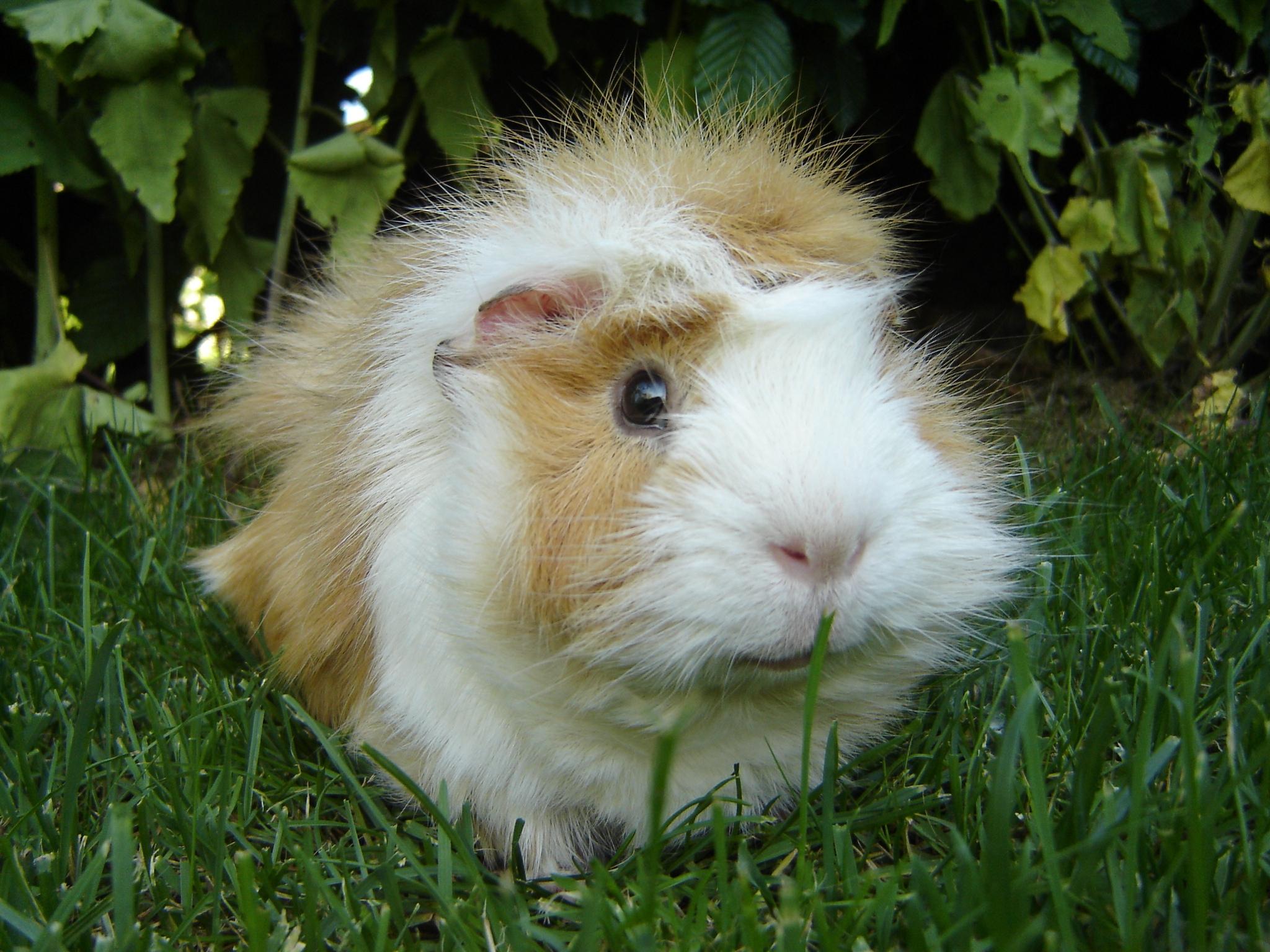 Guinea Pig High Definition