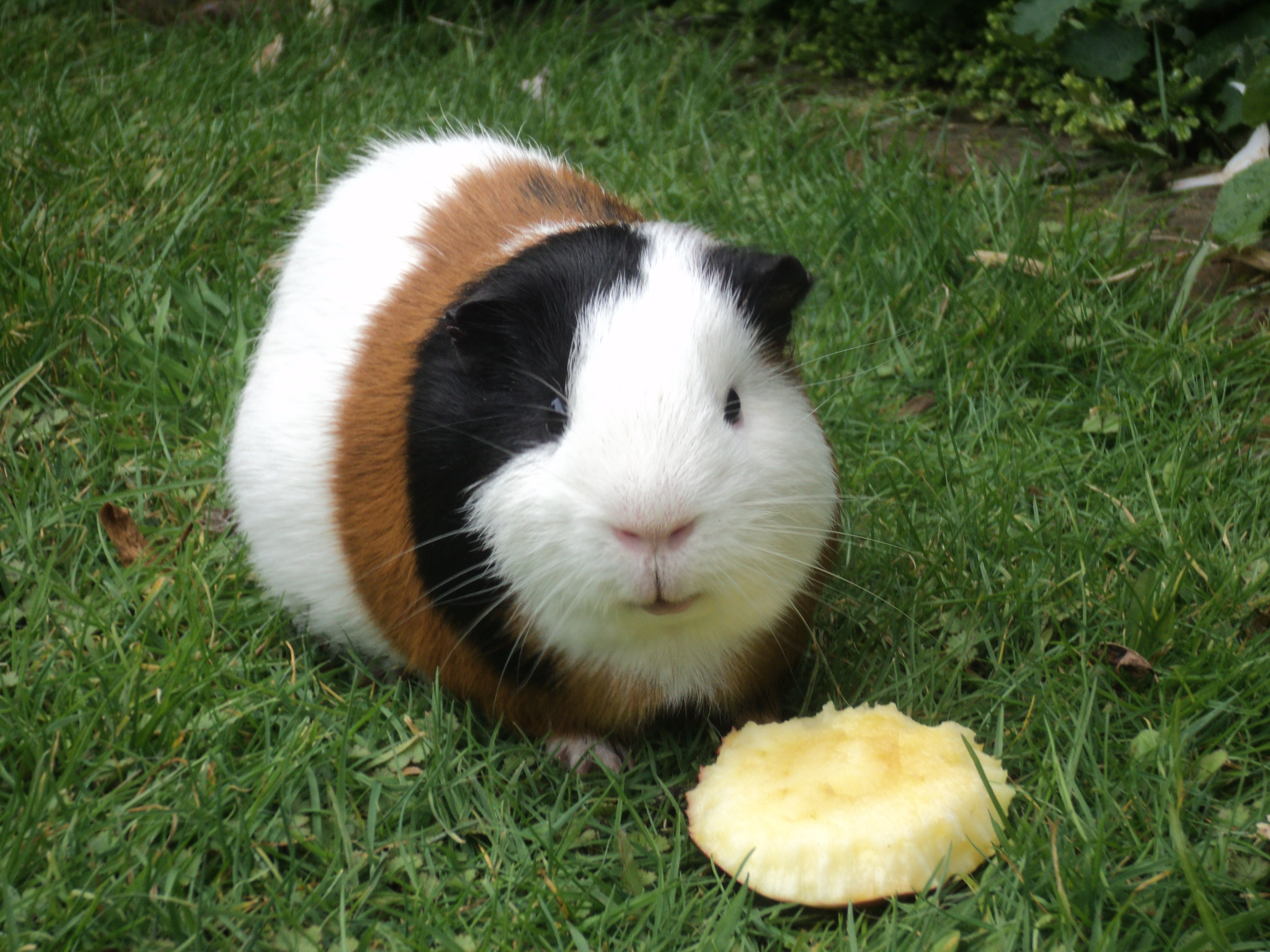 Guinea Pig Wallpapers Hq