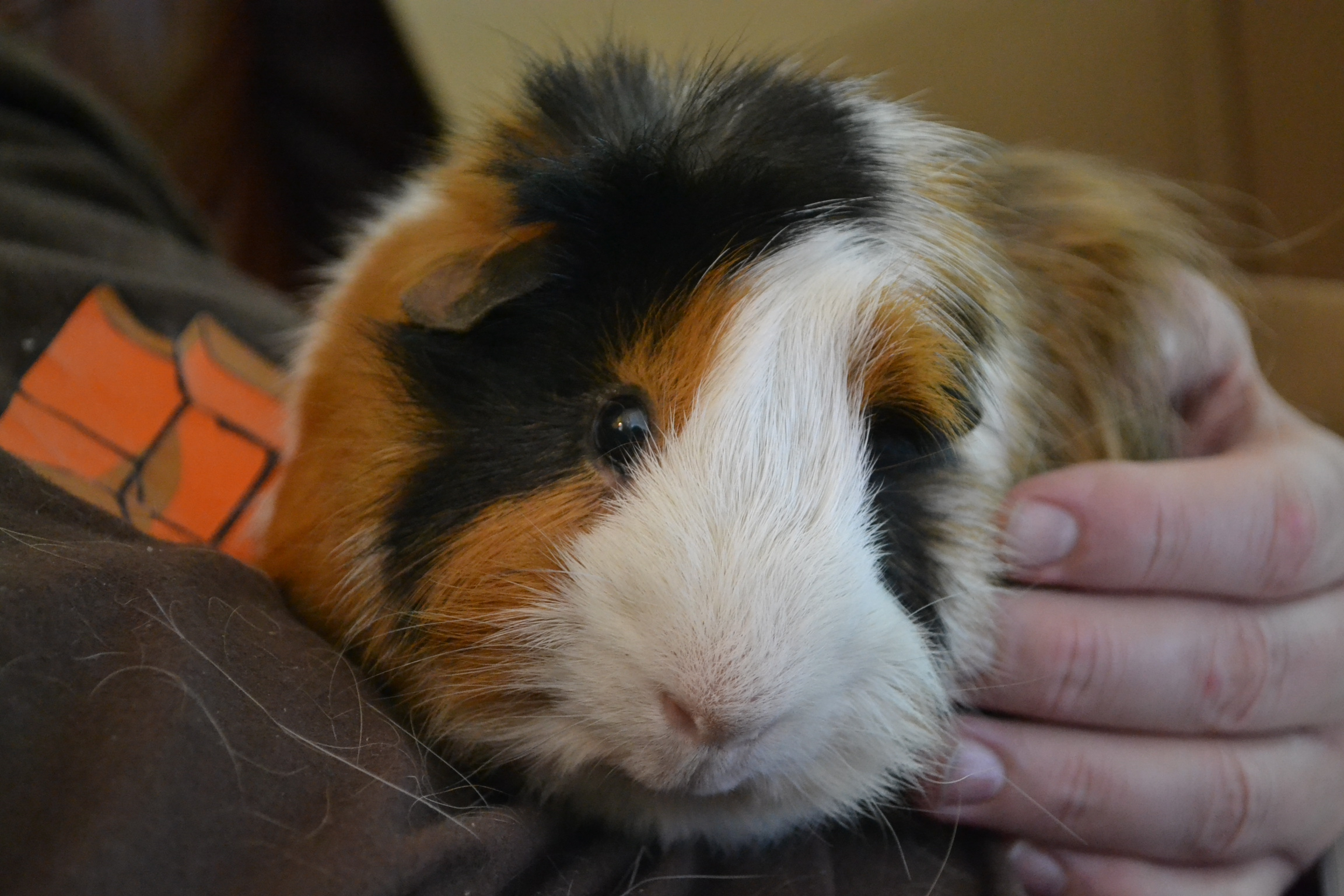 Guinea Pig Wallpapers And Backgrounds