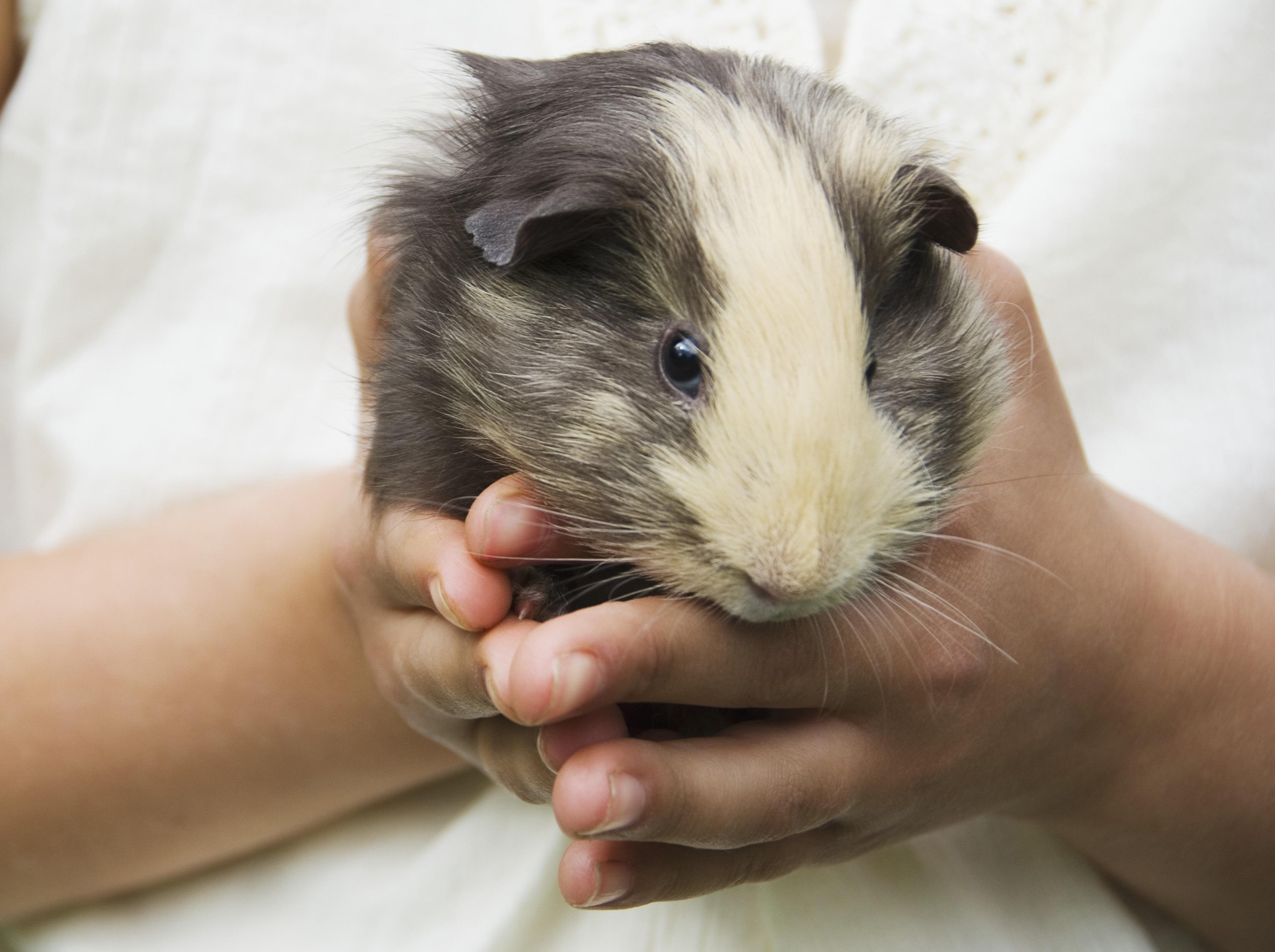 Guinea Pig Widescreen