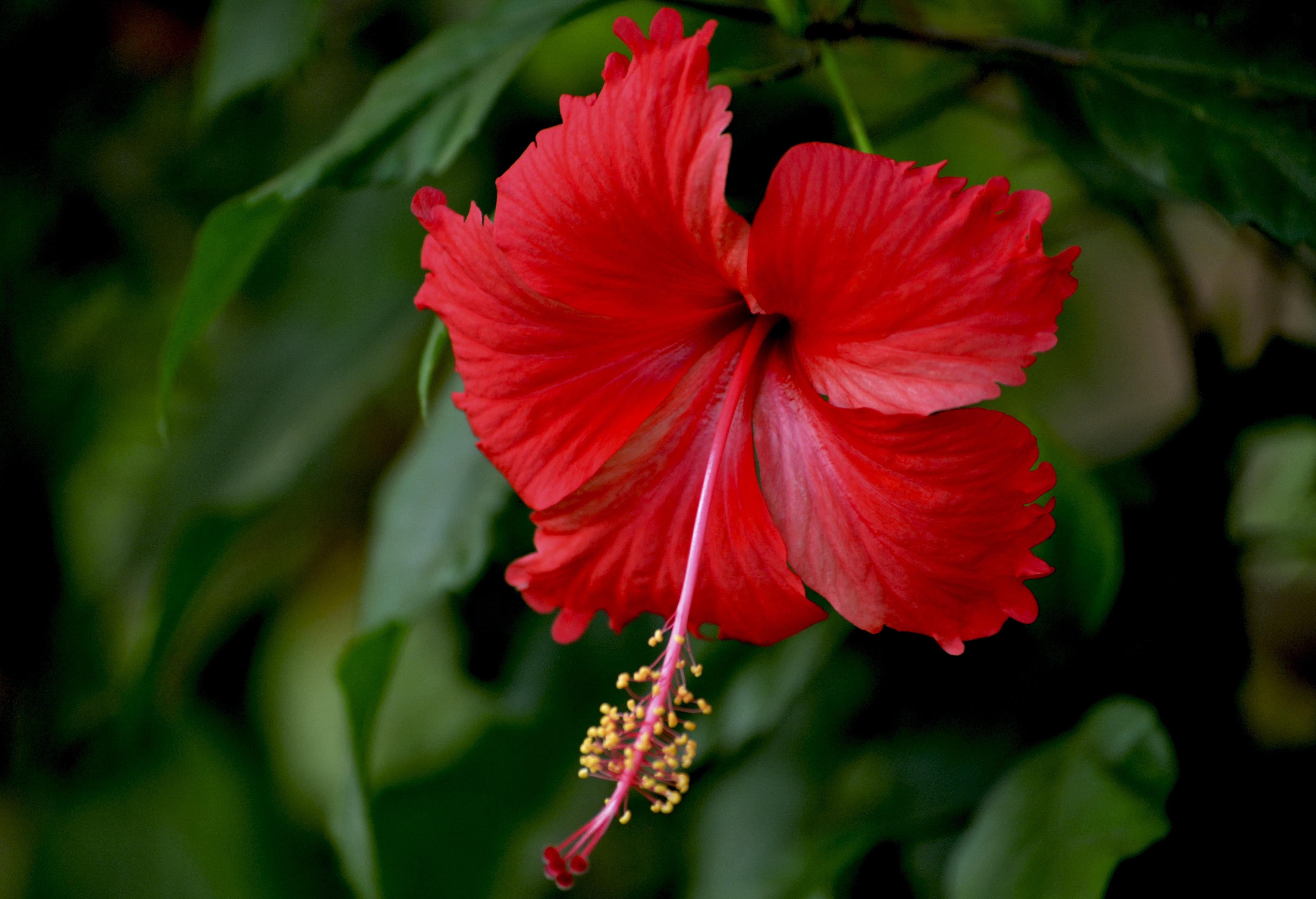 Hibiscus Download