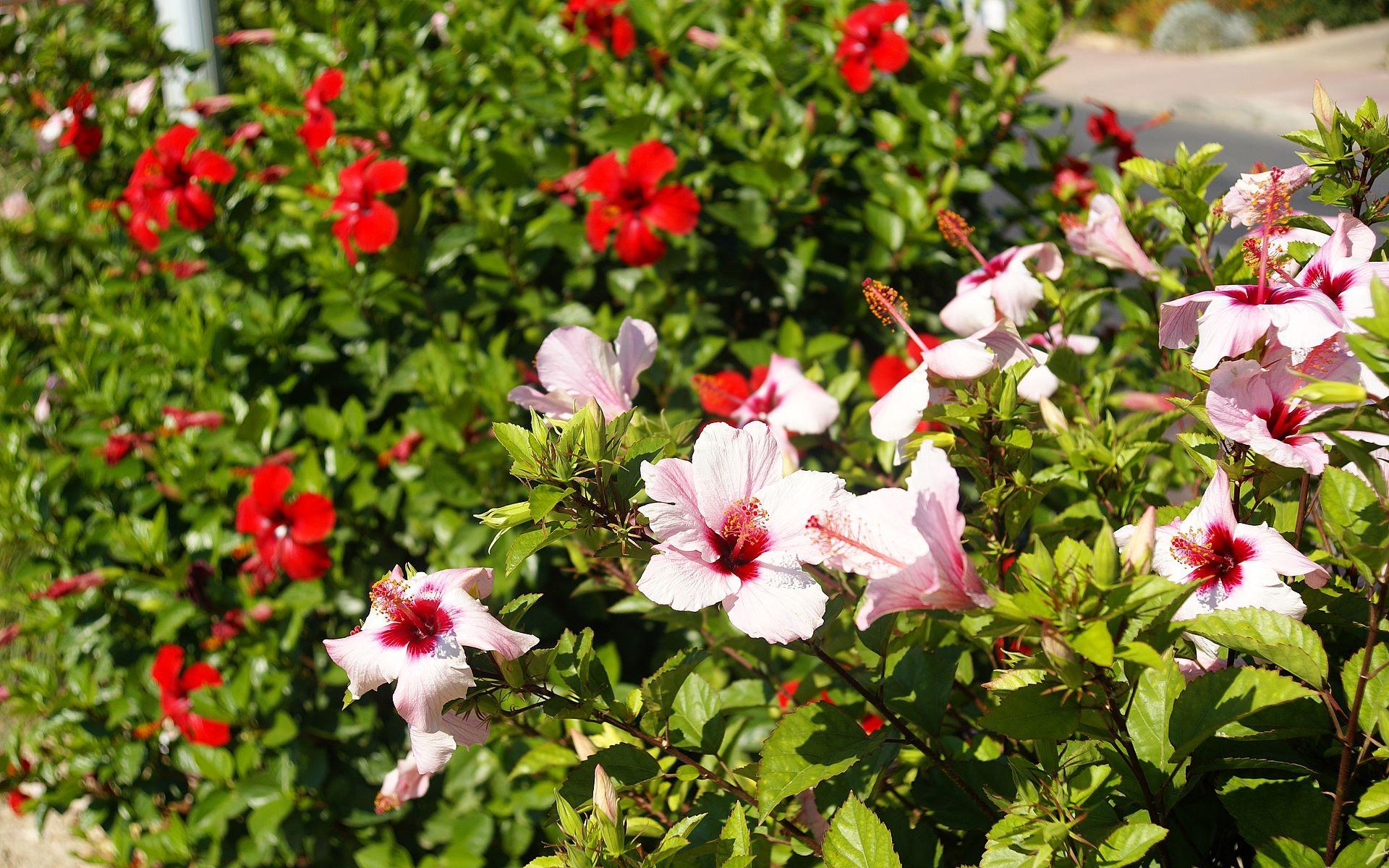Hibiscus Free Download